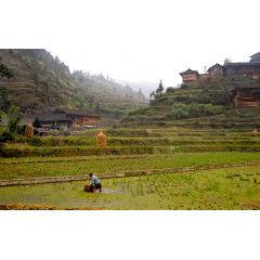 Cleaning Rice Fields
