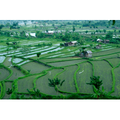 Valley of Rice