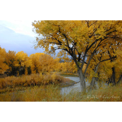 Willow in Canyon