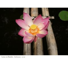 Lotus on Bamboo