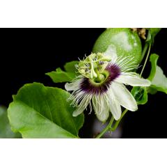 Passion Fruit Bloom