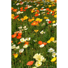 A Field of French Poppies
