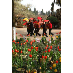 Dancing to the Tulips
